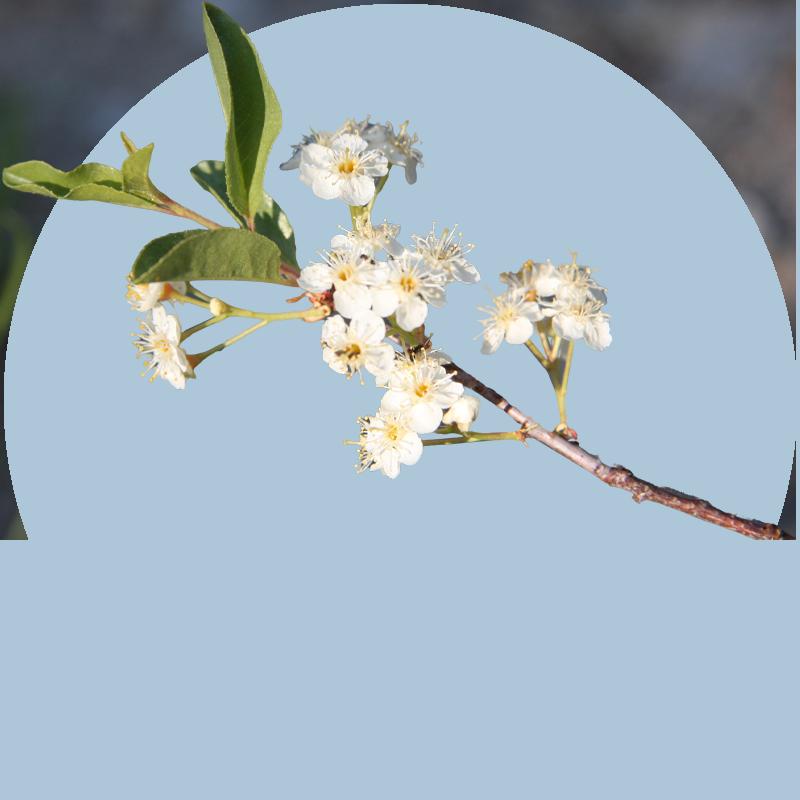 Bitter Cherry (detail)