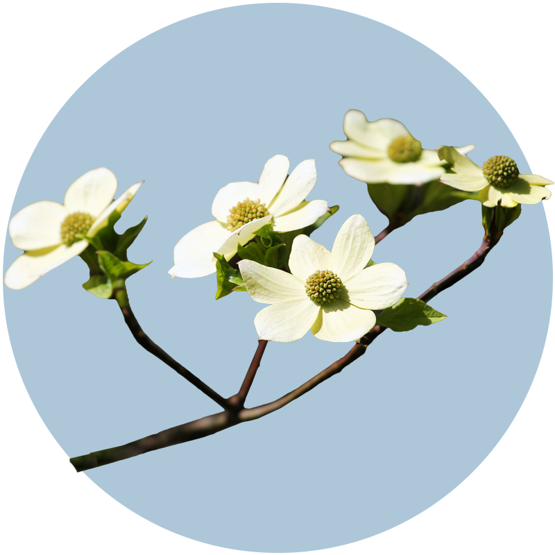 Pacific Dogwood (detail)
