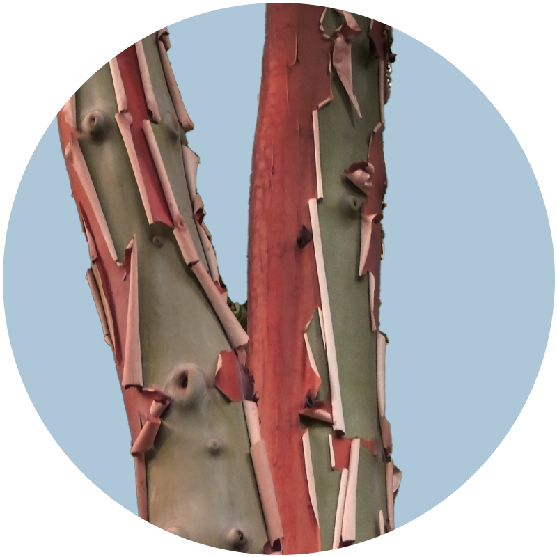 Pacific Madrone (detail)