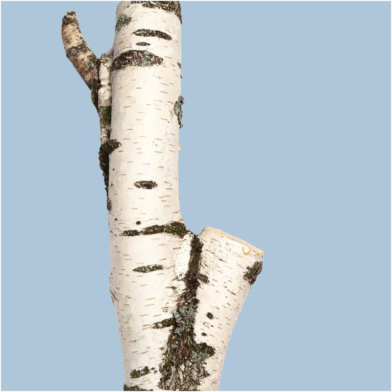 Paper Birch (detail)